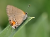 Angerona Hairstreak (<em>Electrostrymon angerona</em>)