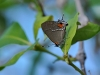 angerona-hairstreak
