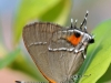 angerona-hairstreak2