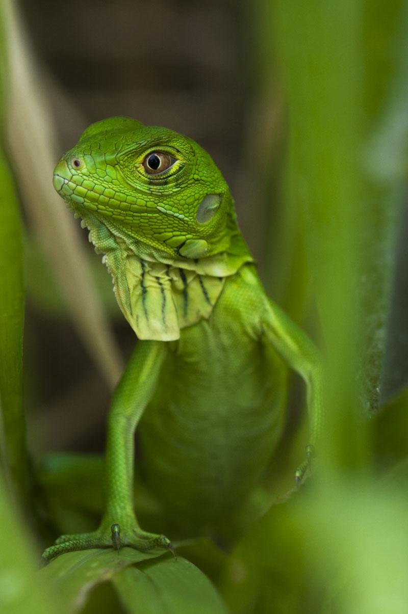Les Fruits De Mer » Blog Archive » Baby Iguanas!!! - photo#26
