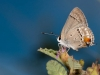 Columella Scrub Hairstreak