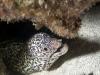 Spotted Moray (<em>Gymnothorax moringa</em>)