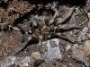 Spider Hiding Beneath Stone