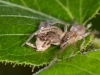 Prowling Spider with Moth Prey