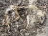 Raccoon Carcass in Bell Valley