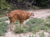 Cow Peeing in Bell Valley