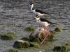 Black-necked Stilt (<em>Himantopus mexicanus</em>)