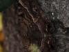 Black Witch Moth (<em>Ascalapha odorata</em>)