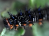Tropical Buckeye Caterpillar (<em>Junonia genoveva</em>)