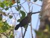 Female Carib Grackle (<em>Quiscalus lugubris</em>)