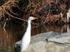 Cattle Egret (<em>Bubulcus ibis</em>)