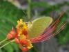 Cloudless Sulphur (Phoebis sennae) - Male