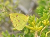 Cloudless Sulphur (Phoebis sennae) - Female