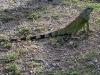 Immature Green Iguana (<em>Iguana iguana</em>)