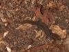 Dwarf Gecko (<em>Sphaerodactylus macrolepis</em>)