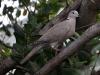 Eurasian Collared Dove (<em>Streptopelia decaocto</em>)