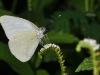 Florida White (Appias drusilla)