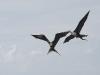 Magnificent Frigatebirds