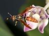 Jack Spaniard Wasp