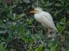 Cattle Egret, Breeding Plumage