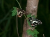 Checkered Swallowtails
