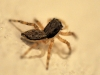 Gray Wall Jumper (<em>Menemerus bivittatus</em>)