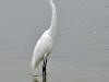 Great Egret (<em>Ardea alba</em>)