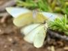 Great Southern White (<em>Ascia monuste</em>)