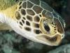 Green Turtle (<em>Chelonia mydas</em>)