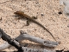 Ground Lizard (<em>Ameiva plei</em>)