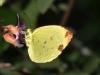Hall's Sulfur (Eurema leuce)
