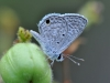 Hanno Blue (<em>Hemiargus h. hanno</em>)
