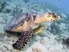 Hawksbill Turtle (<em>Eretmochelys imbricata</em>)