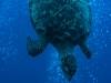 Hawksbill Turtle (<em>Eretmochelys imbricata</em>) Roatan, Honduras