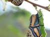 Hieroglyphic Moth (<em>Diphthera festiva</em>)