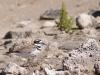 Killdeer (<em>Charadrius vociferus</em>) Defending Nest
