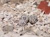 Killdeer (<em>Charadrius vociferus</em>) Nest