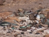 Killdeer (<em>Charadrius vociferus</em>) Distraction Display