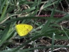 Little Yellow (Eurema lisa)