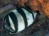 Banded Butterflyfish (<em>Chaetodon striatus</em>)