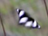 Mimic (<em>Hypolimnas misippus<em>)