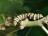 Monarch Butterfly Caterpillar (<em>Danaus plexippus</em>)