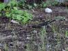 Pearly-eyed Thrasher (<em>Margarops fuscatus</em>)