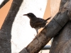Pearly-eyed Thrasher (<em>Margarops fuscatus</em>)