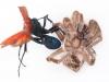 Tarantula Hawk Wasp (<em>Pepsis rubra</em>) and Tarantula in Deadly Embrace