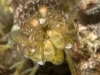 Mantis Shrimp (Order Stomatopoda)