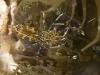 Sun Anemone Shrimp (<em>Periclimenes rathbunae</em>)