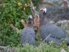 Guinea Fowl at Hilltop Farm