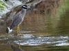 Yellow-crowned Night Heron on Great Salt Pond Canal