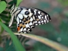 Checkered Swallowtail (<em>Papilio demoleus</em>)